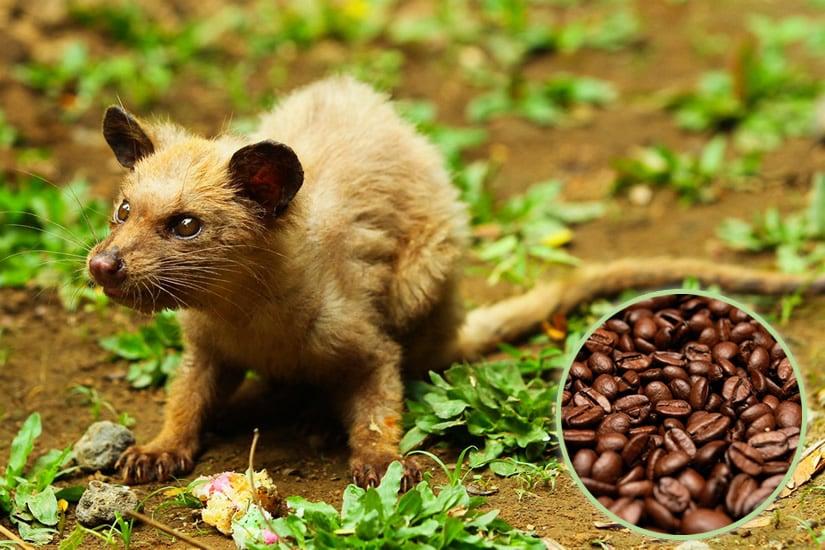 Asian palm civet - Kopi Luwak coffe