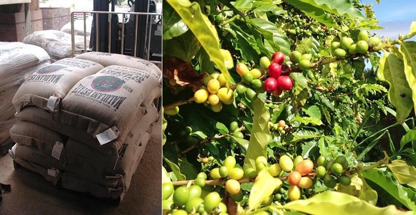 Molokai Coffee best coffee beans