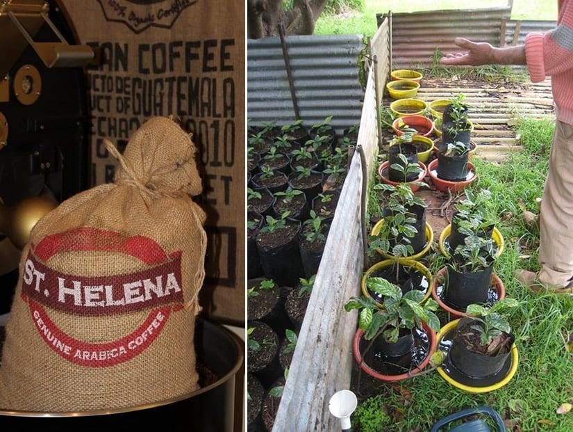 St Helena Coffee Nursery