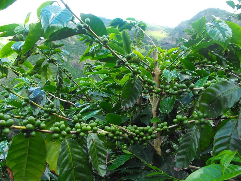 St. Helena Coffee - World's most expensive coffee