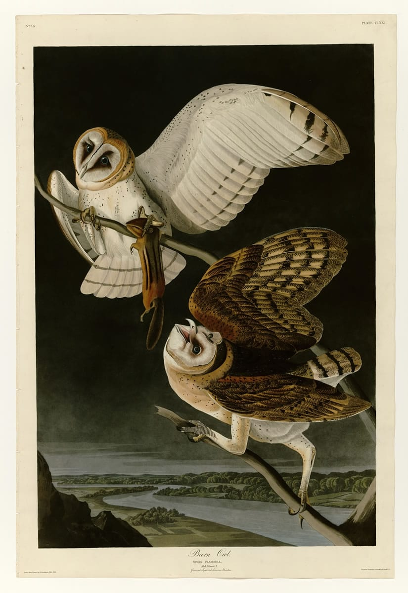 Birds of America Barn Owl