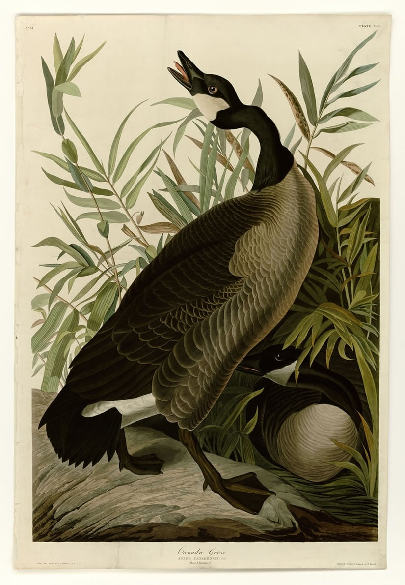 Birds of America Canada Goose